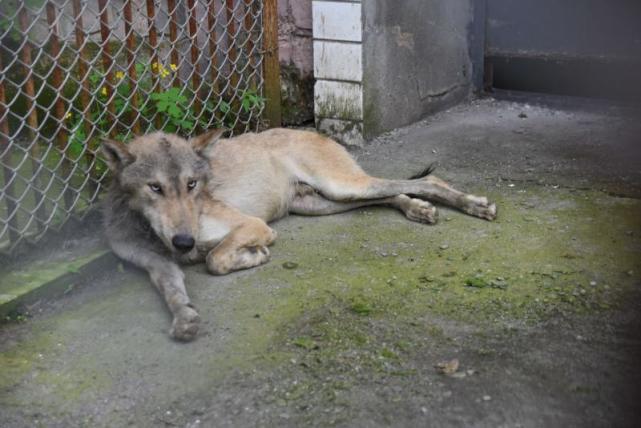 """哈尔滨一村庄狼出没网友笑称狼""""看起来忧郁"""" 动物园专家:不是忧郁而是虚弱的怂插图"""
